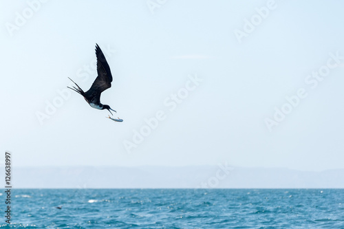 Fotomural Frigate bird while fighting for a fish caught