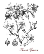 Blackthorn Or Sloe Is A Shrub With Thornlike Spiny Branches.The Purple- Blue Fruit Is Commonly Known As Sloe And Has A Tart Flavor Used To Produce A Liqueur (sloe Gin).