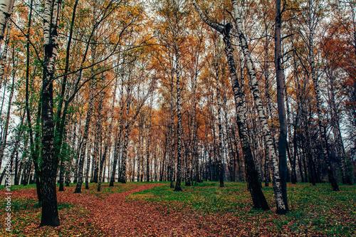 Papiers peints Bosquet de bouleaux Березовая роща осенью