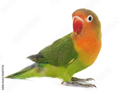Fond de hotte en verre imprimé Perroquets Young fischeri lovebird