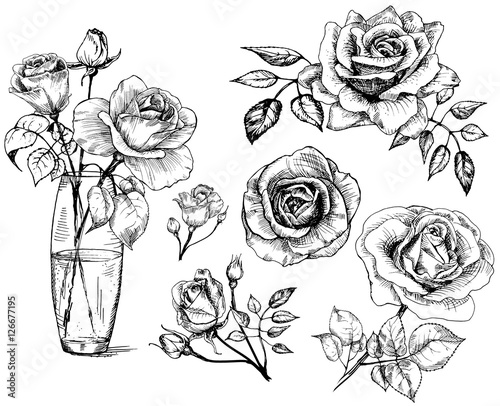 Set Roses Collection Hand Drawn Rose Vector Buy This Stock