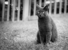 Short Hair Dark Grey Cat
