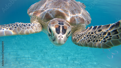 Turtle Swimming Underwater Caribbean with Jellyfish