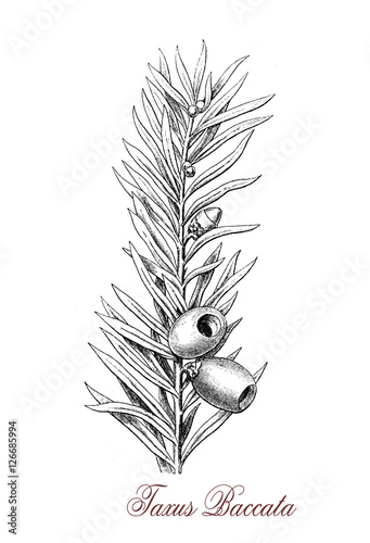 Obraz na plátně Taxus baccata or English yew is a coniferous small ornamental evergreen tree, the leaves are flat dark green