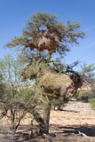 Two nests of weaver birds in an acacia tree, Namibia
