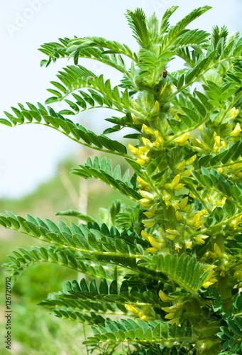 Astragalus. milkvetch. goat's-thorn. vine-like. astragalus sieve Canvas Print