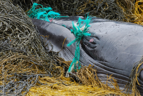 Green Fishing Net Tangled in a Whale's Mouth