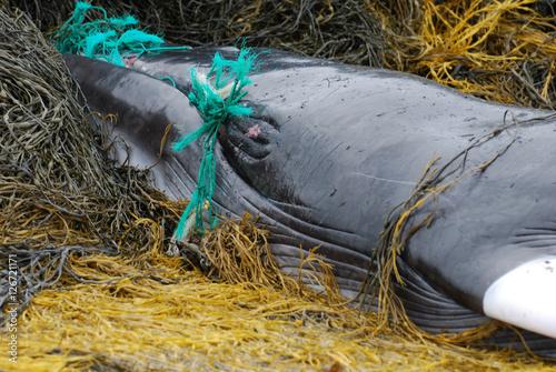 Green Fishing Net in a Minke Whale's Mouth