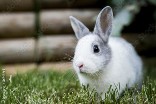 Fotografie, Obraz  Bébé lapin gris et blanc