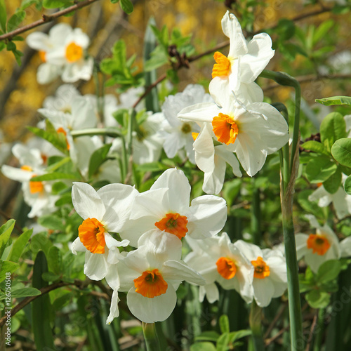 Papiers peints Narcisse Narcisse multiflore 'Géranium'