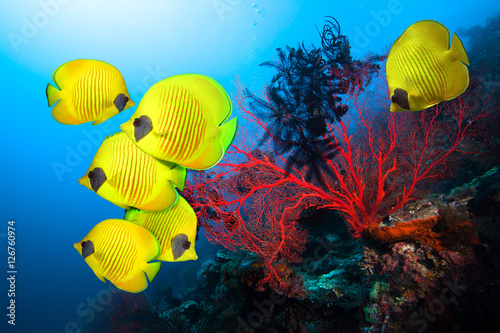Poster Sous-marin Underwater image of coral reef and School of Masked Butterfly Fish