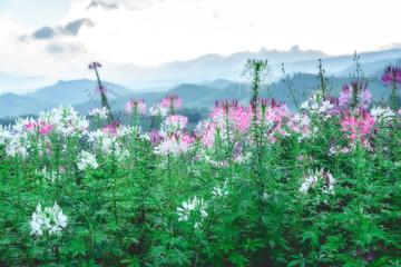 Fototapeta Flower after rain background mountains