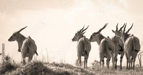 Fotomural  A herd of eland facing left in profile and sepia on the plains of Kenya's Masai