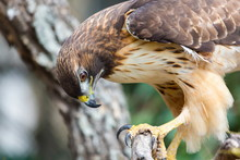 The Red-tailed Hawk Is A Bird Of Prey, One Of Three Species Colloquially Known In The United States As The Chickenhawk, Though It Rarely Preys On Standard Sized Chickens.