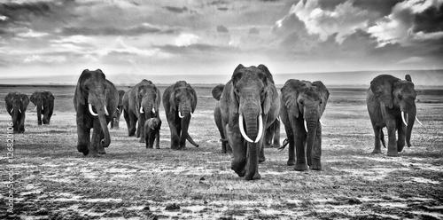 Fototapeta Family of elephants walking group on the African savannah at photographer obraz na płótnie