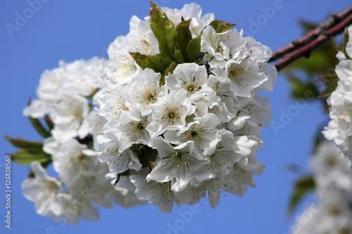 fioritura di ciliegio, vignola, modena Poster