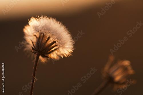 dandelion-ziarna-z-naturalnym-tlem