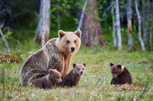 Obraz na plátně Female brown bear and her cubs