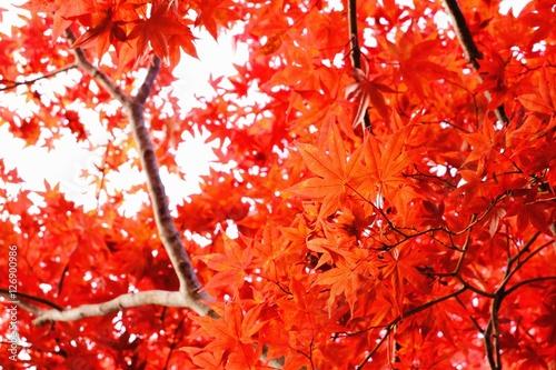 Foto op Canvas Baksteen 鮮やかな紅葉風景