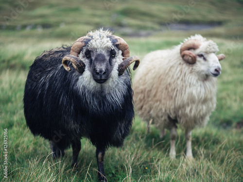 Fotografija Faroes sheep