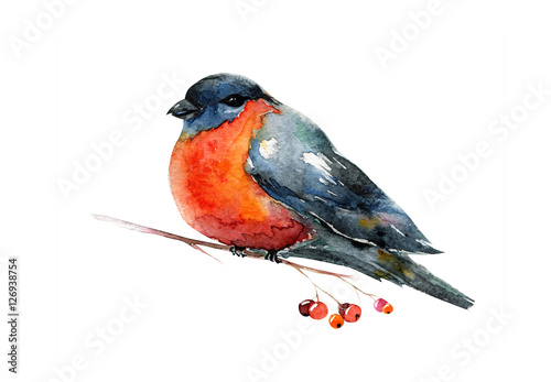 Photo  Watercolor with red winter bird bullfinch. Robin.