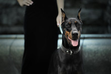 Portrait Of Doberman Dog Outdo...