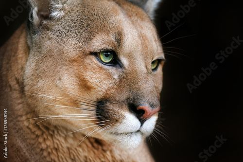 Poster Puma Puma portrait with beautiful eyes on black background