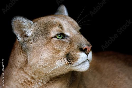 Poster Puma Puma portrait with beautiful eyes on black background