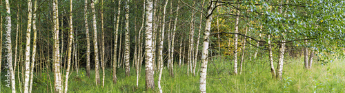 Birch grove panoramic landscape