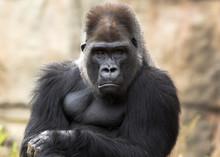 Grumpy Gorilla Making Eye Contact