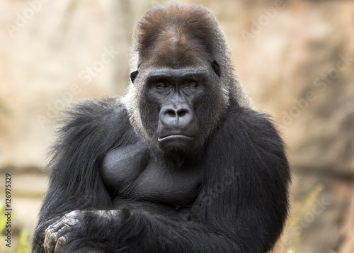 grumpy gorilla making eye contact