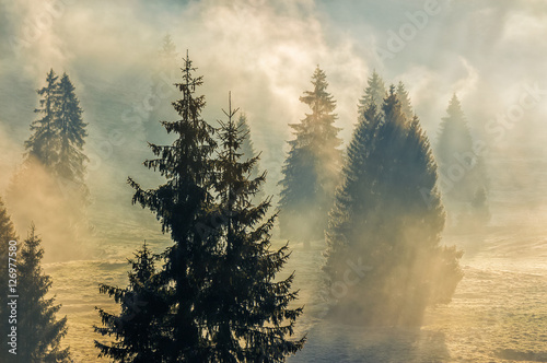 fog in the spruce forest