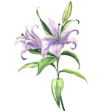 Blooming Beautiful Blue Or Purple Lily Flower Isolated, Watercolor Illustration