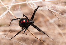 Black Widow Spider Outdoors On...