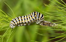Black Swallowtail Butterfly Ca...
