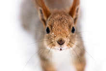 Funny Curious Little Squirrel Looking In Camera, Closeup View