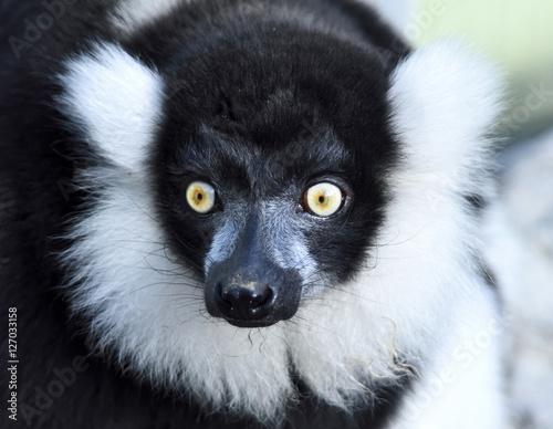 Aluminium Prints Camel Black and white lemur ape. Close-up shot.