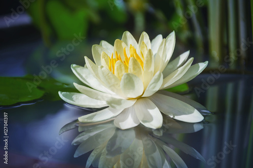 Foto  beautiful lotus flower is complimented by the rich colors of the deep blue water surface