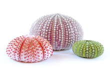 Green And Pink Sea Urchins, Is...