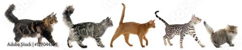 Photo sur Toile Chat five walking cats