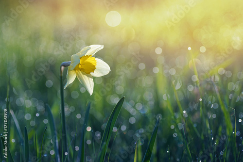 Narcissus flower in the morning sun and a drop of dew on the grass. Very beautiful bokeh.