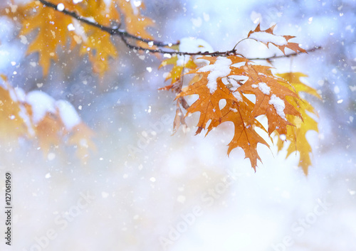 Beautiful branch with orange and yellow leaves in late fall or early winter under the snow. First snow, snow flakes fall, gentle blurred romantic light blue background for design.