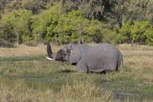 Elephants In Botswana Africa
