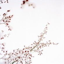 A Snowy Branch With Red Berrie...