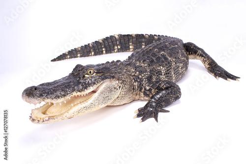 American alligator,Alligator mississippiensis