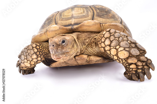 Poster Tortue African spurred tortoise,Centrochelys sulcata