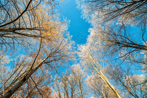 Fototapeta  Top of forest trees in cold November season