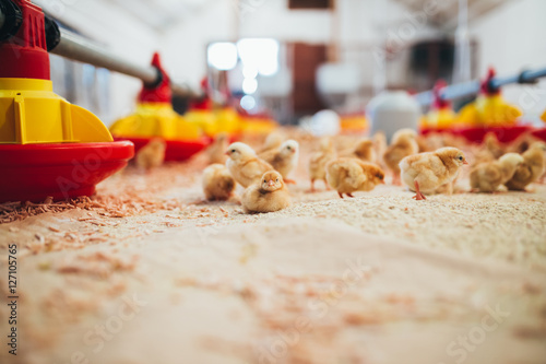 Little yellow chicks in chicken farm.