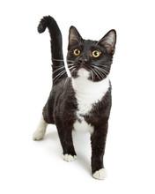 Curious Tuxedo Cat Walking Forward
