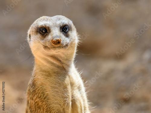 Fotografie, Obraz  Meerkat or Suricate (Suricata Suricatta) in Africa